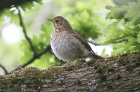 Song Thrush juvenile Cockley Cley 13th May