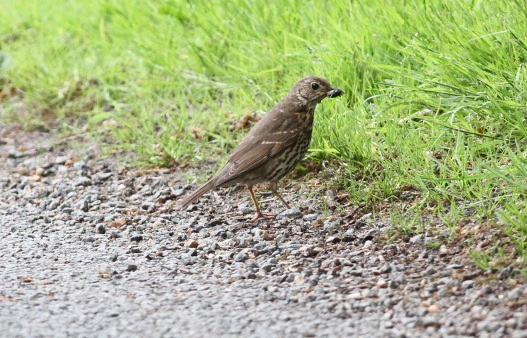 Song Thrush, Cockley Cley 25th May