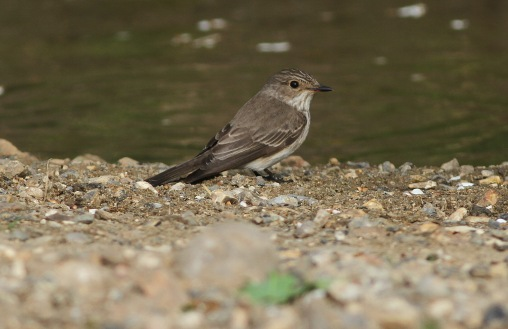 Spotted Flycatcher, Cockley Cley 30th May