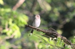 Spotted Flycatcher, The Nunnery Hilbrough 8th May