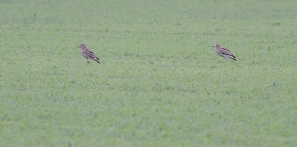 Stone Curlews taken from my garden in Cockley Cley 12th June