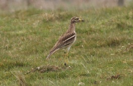 Stone Curlew, 2nd May