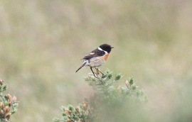Stonechat, Hilbrough Estate 30th May