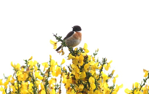 Stonechat, Hilbrough Estate, 12th June