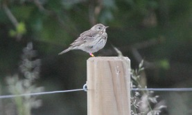 Tree Pipit, Santon Downham 19th June