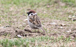 Tree Sparrow, 2nd May