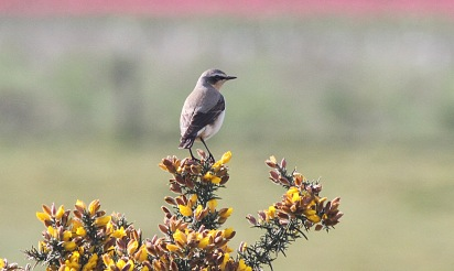 Wheatear, Gooderstone Warren, 1st May