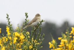 Willow Warbler, Swaffham Forest 26th May