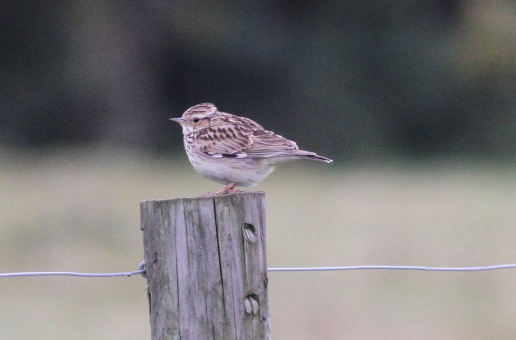 Woodlark, Gooderstone Warren, 2nd May