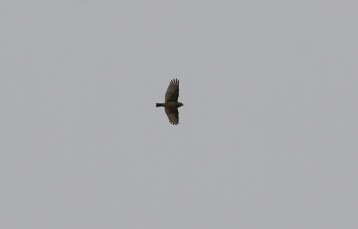 Woodlark over my house in Cockley Cley 13th May