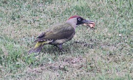 Green Woodpecker in my garden in Cockley Cley 12th June