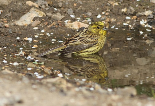 Yellowhammer, Cockley Cley 30th May