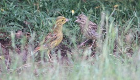 Yellowhammers, Cockley Cley 12th June