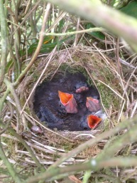 Dunnock chicks
