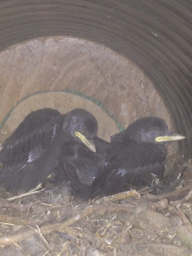 Jackdaw chicks 30th May