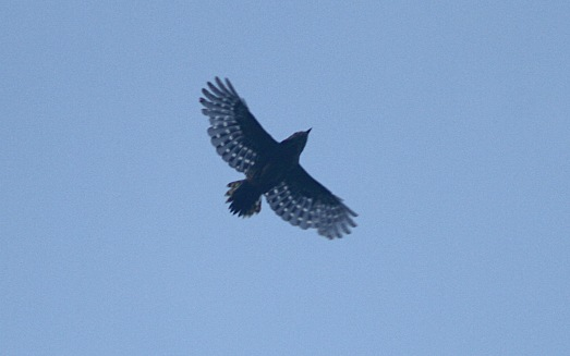 Juvenile in flight