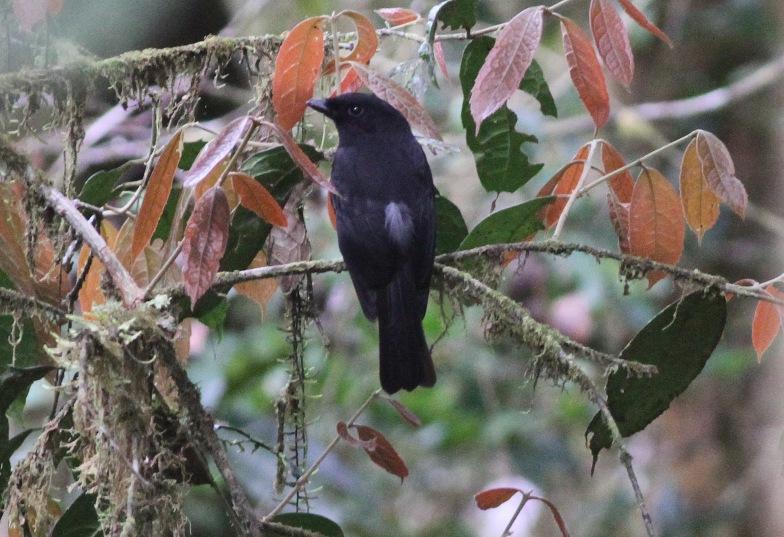 Black Pitohui