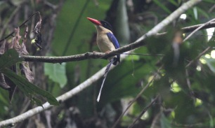 Black-headed Paradise Kingfisher