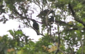 Bougainville Crows