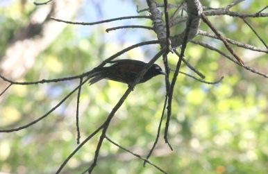 Bougainville Monarch