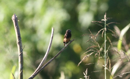 Buff-bellied Munia