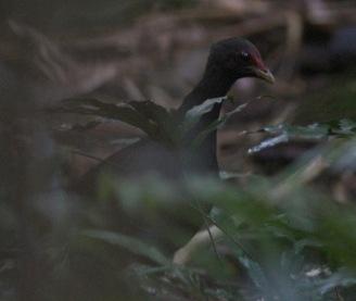 Melanesian Scrubfowl
