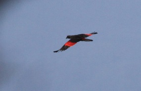 Presquets Parrot