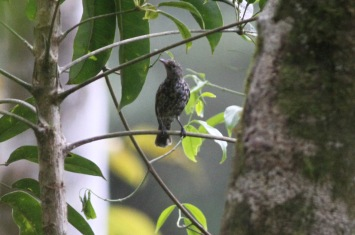 Spotted Berrypecker, female