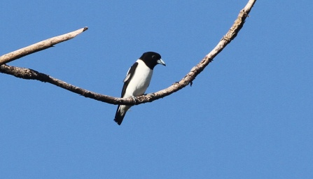 Bismark Woodswallow