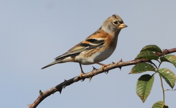 Brambling, Burnham Overy Dunes, 8th October