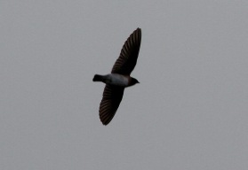 Cliff Swallow, Minsmere, Suffolk 5th November,