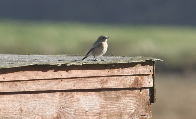 Desert Wheatear, Burnham Overy Dunes, 23rd October