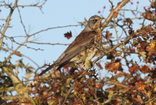 Fieldfare, Hilborough. 6th November