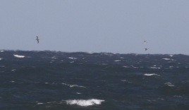Gannet and Red-throated Divers, Salthouse 2nd October