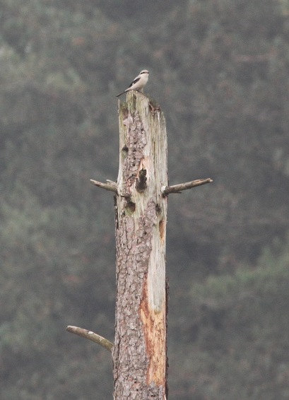 Great Grey Shrike, Swaffham Forest, 30th October