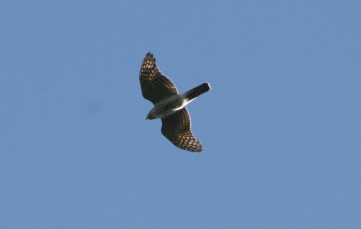 Goshawk, male Cockley Cley 3rd October