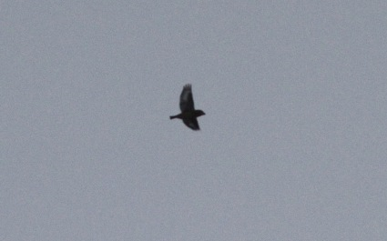 Hawfinch over Great Covert, 6th November