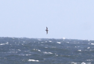 Manx Shearwater, Salthouse 2nd October