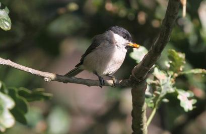 Marsh Tit, Drymere, 3rd Septwmber