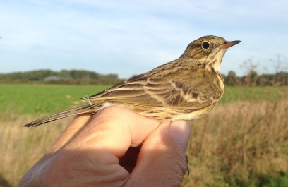 Meadow Pipit, Gooderstone Warren, 24th September