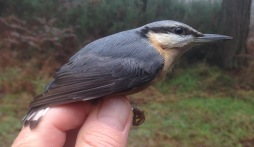 Nuthatch, 19th December