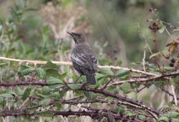 Ring Ousel, Burnham Overy Dunes, 9th October