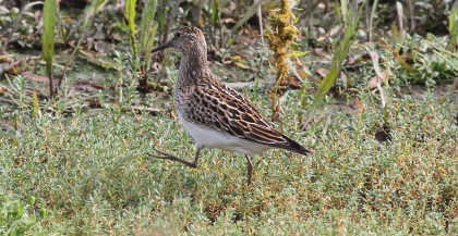 Pectoral Sandpiper, Titchwell, 9th October