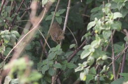 Radde's Warbler, Warham Greens, 15th October