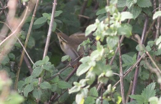 Radde's Warbler, Warham Greens, 15th October