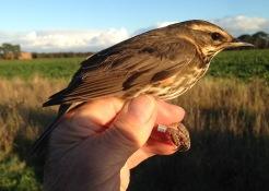 Redwing, Gooderstone Warren, 9th October