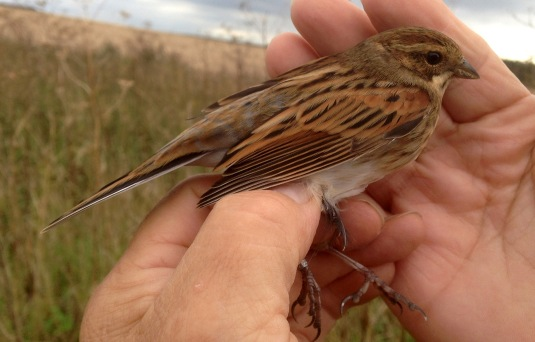 Reed Bunting, immature male, Gooderstone Warren, 22nd September