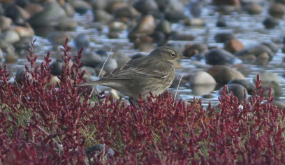 ock Pipit, Salthouse 2nd October