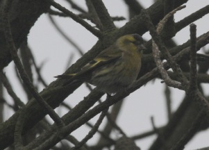 Siskin, East Hills 17th September