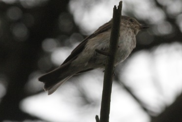 Spotted Flycatcher, East Hills 17th September
